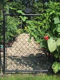 Cucumber growing on the garden gate