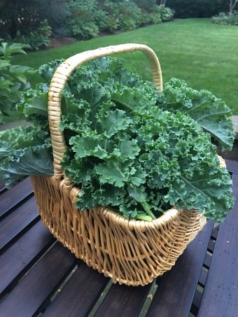 Kale fresh from the garden