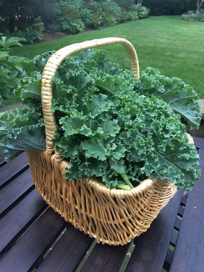 Kale fresh from the garden