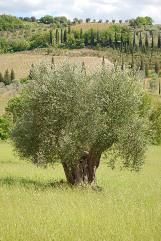 Tuscan olive tree